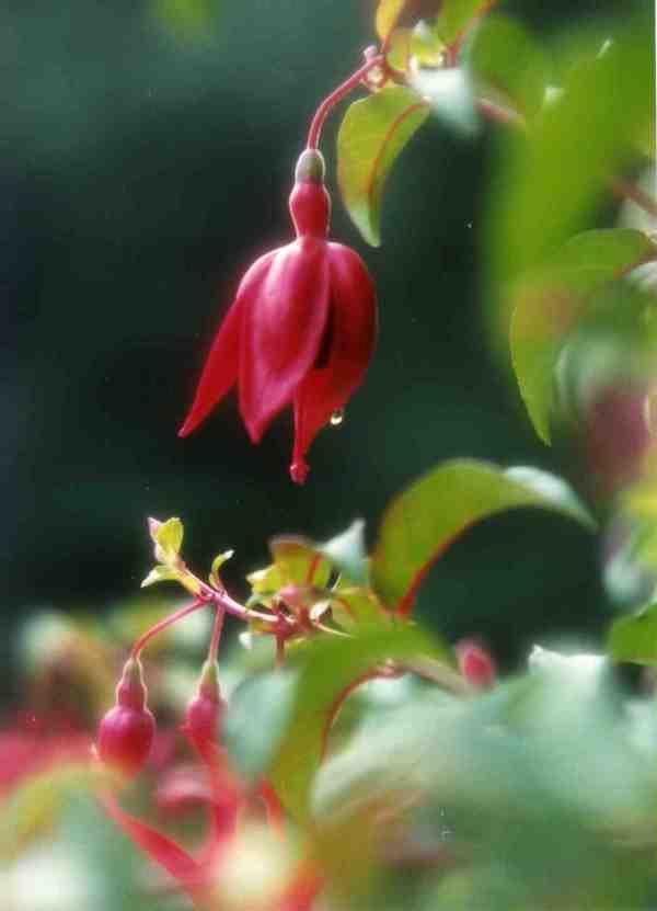 Fuchsia-Dew