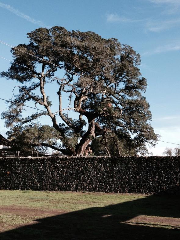 Oak just outside walls of abandoned winery...